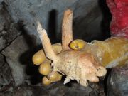 Crâne de Chamois retrouver derrière l'étroiture